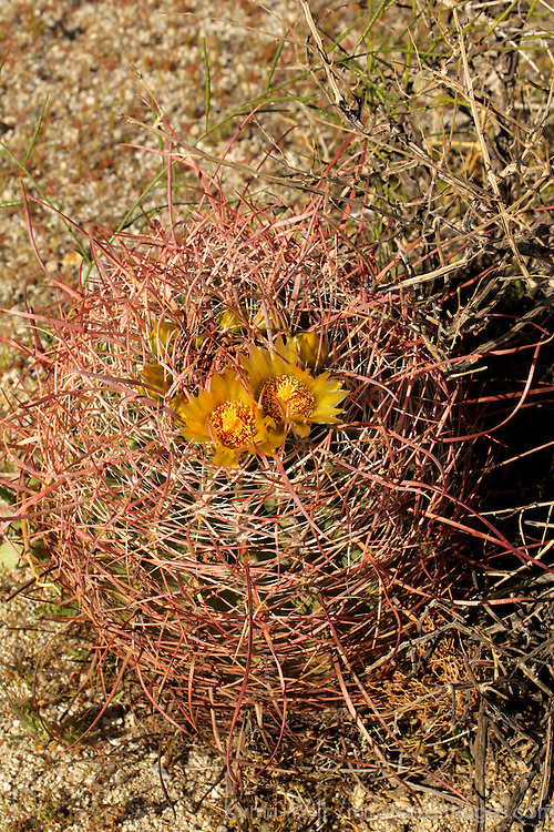 USA, California, San Diego County. Barrel Cactus in bloom at Anza-Borrego Desert State Park.