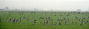 Nederland, Ubbergen, 12-12-2013Wilde grauwe ganzen in de Ooijpolder. Elk jaar overwinteren tienduizenden ganzen in de Gelderse Poort en de uiterwaarden langs de rivier de Waal.Foto: Flip Franssen/Hollandse Hoogte