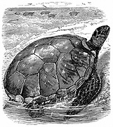Green (Edible Turtle - Chelonia mydas. Turtle meat much prized  Edible turtles imported live into Europe as a table delicacy.  Wood engraving c1890.