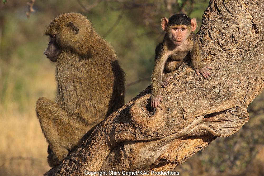 Juvenile olive baboon in a tree near his mother.