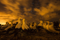 Cape Gannets at their nest sites during the night and as a cold front passes overhead, Malgas Island, West Coast National Park, Western Cape, South Africa
