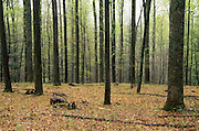 PA landscapes, Forest, Spring Leaves, Tuscarora State Forest, Perry Co., Pennsylvania