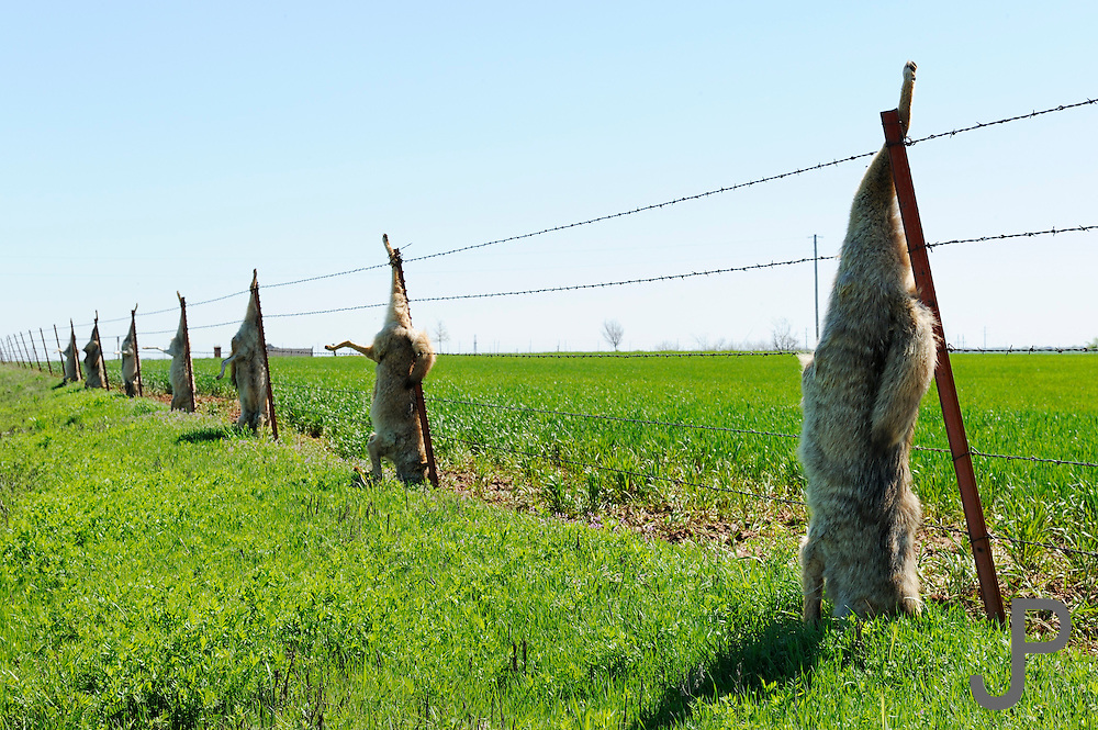 Dead Coyotes Hanging From A Fence Next To A Wheat Field In