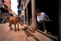 KATHMANDU, NEPAL - A shop keeper looks up form his newspaper to find that he has attracted the attention of a passing cow. Hindus consider the cow to be a sacred animal and will not harm them. (Photo © Jock Fistick)