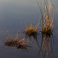 Rushes and Sedges Reflected in the Little Blackwater River, Blackwater National Wildlife Refuge, Cambridge, MD