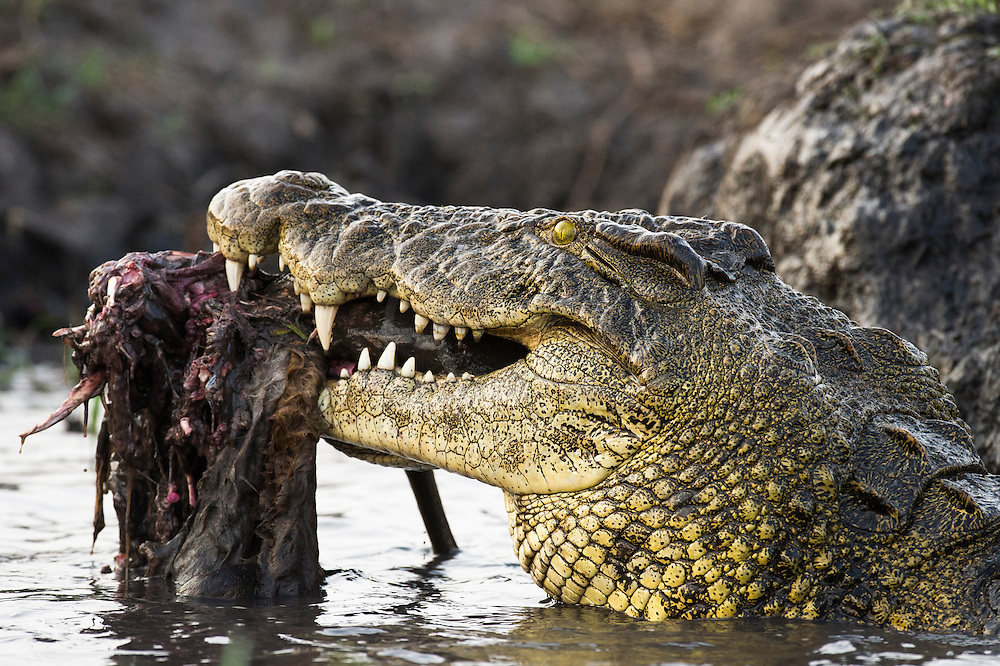 Large Nile Crocodile feeding on the remains of a Red Lechwe, Chobe River, Kasane, Botswana.