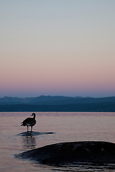"""Canadian Goose at Lake Tahoe 1"" - This Canadian Goose was photographed from a kayak at Sunrise on Lake Tahoe, near Speed Boat Beach."