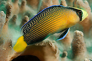 Splendid dottyback fish (Pseudochromis splendens). Raja Ampat, West Papua, Indonesia, Pacific Ocean