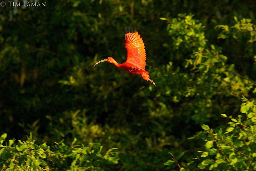 A Scarlet Ibis (Eudocimus ruber) flying among the mangrove trees in the Orinoco River Delta, Venezuela.