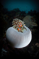 Tomato Anemone, closing late in the day with clownfish