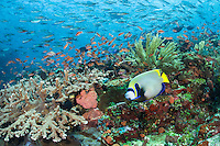 Emperor Angelfish, Anthias, Fusiliers<br /> <br /> Shot in Indonesia