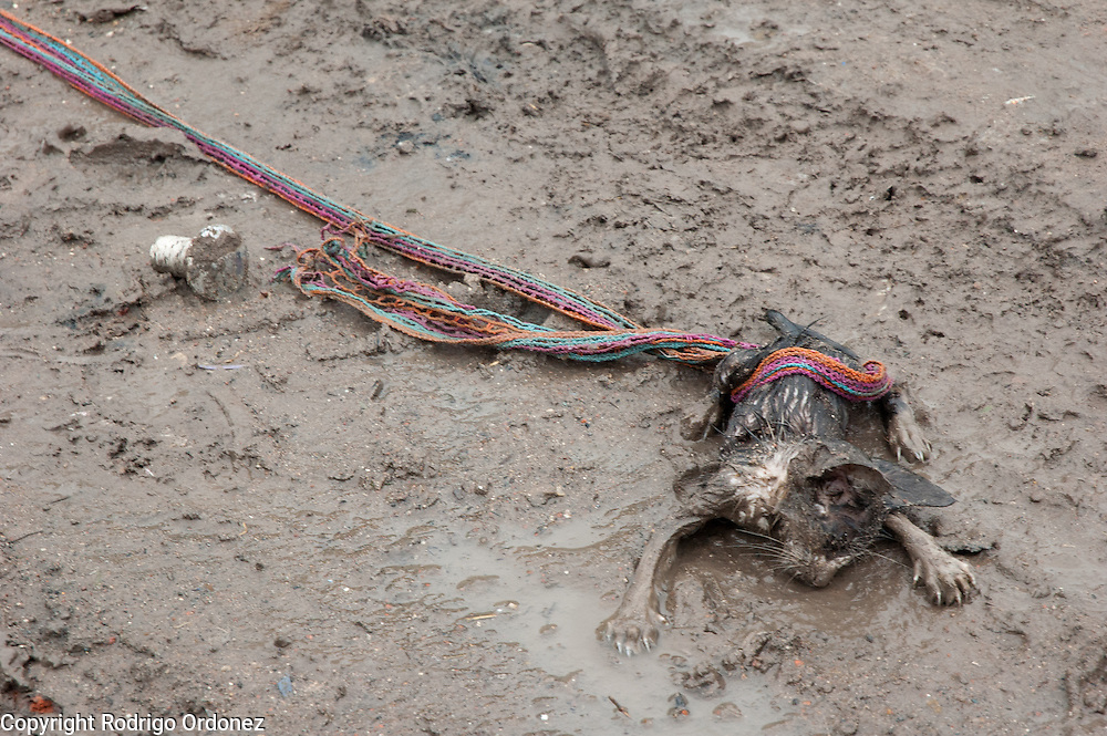 A dead kitten lays on the mud, tangled on a piece of fabric. Ocho de Mayo lacks a reliable supply of water and electricity. Some residents have perforated a nearby water main. This water supply is highly contaminated, and some people suffer from dysentery, leukemia and other diseases related to malnutrition and environmental contamination.