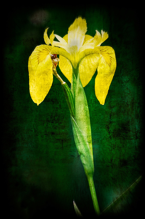 Yellow iris photographed and worked into a stylized photographic art.