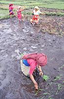 Nepal - Region de Pokhara - Plantation du riz