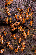 Termites (Nasutitermes sp.)<br /> BELIZE: Cayo District <br /> Ian Anderson's Caves Branch Lodge near Armenia<br /> 7-Sep-2014<br /> J.C. Abbott &amp; K.K. Abbott