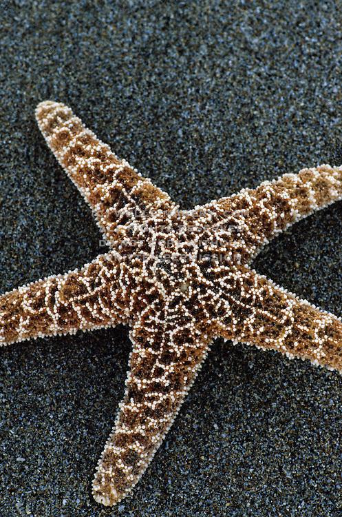 Image of a starfish on the beach in Makena, Maui, Hawaii, Hawaiian Islands (toned black & white conversion)