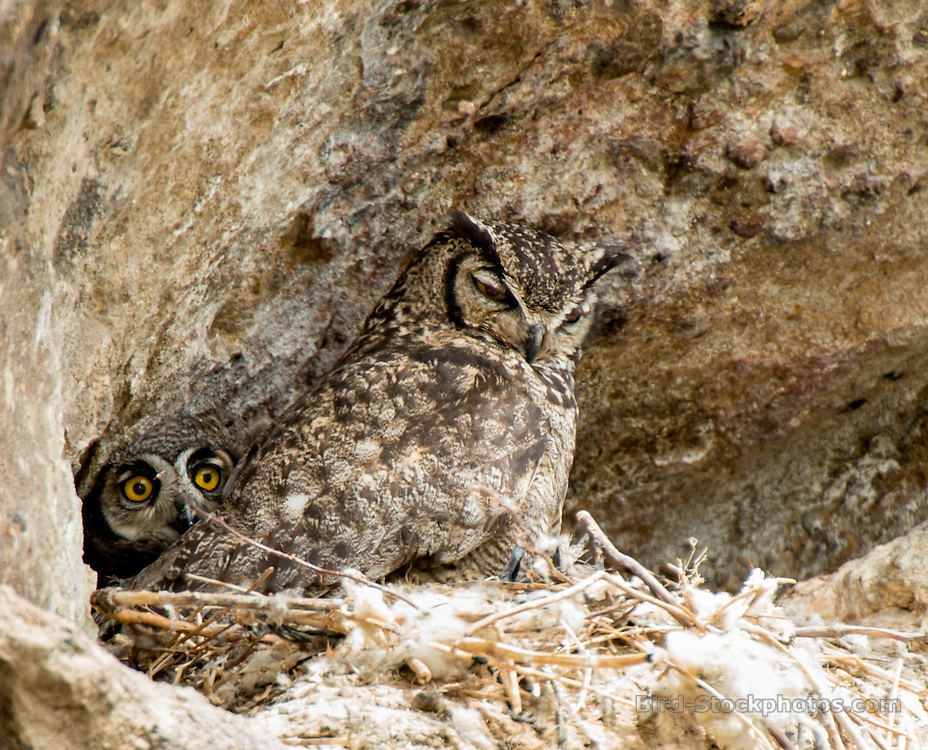 Lesser Horned Owl, (Magellanic Horned Owl), Bubo magellanicus, Bariloche, Argentina, by Owen Deutsch