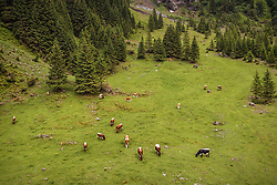 THEMENBILD - Kuehe auf einer Almweide am Hintersee, aufgenommen am 23. Juni 2019 in Mittersill, Österreich // Cows on a mountain pasture at the Hintersee, Mittersill, Austria on 2019/06/23. EXPA Pictures © 2019, PhotoCredit: EXPA/ JFK