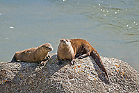 A Northern River Otter pair crawls up onto a rock to warm in the sun alongside a river.