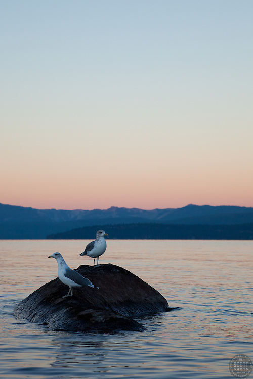 """""""Seagulls at Sunrise, Lake Tahoe 1"""" - These seagulls were photographed from a kayak at sunrise on Lake Tahoe, near Speed Boat Beach."""