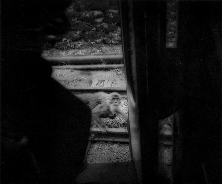 Meeting eyes with macaque mother looking for handout from Darjeeling Toy Train, India.