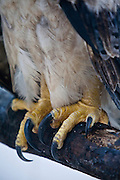 Parauapebas_PA, Brasil...Programa de Conservacao do Gaviao Real  (Harpia harpyja) na Floresta Nacional de Carajas, Para...Preservation Program of the Harpy Eagle (Harpy harpyja) at Carajas National Forest, Para. ..Foto: JOAO MARCOS ROSA / NITRO...