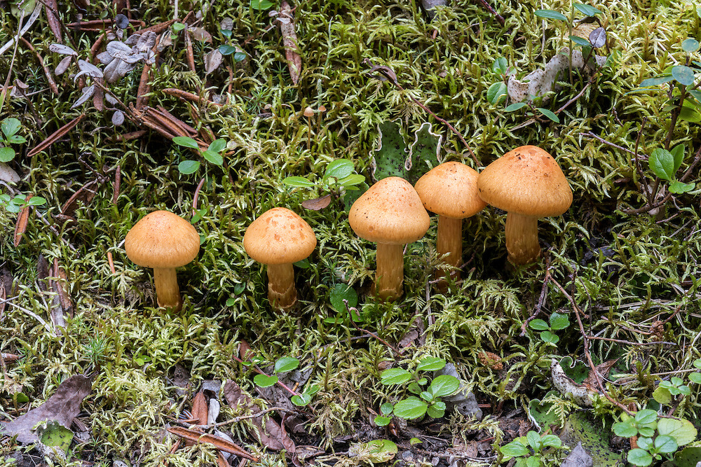 Five small brown mushrooms (unknown species)  with green foliage background, Denali National Park, Alaska