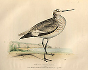 Totanus semipalmatus. The willet (Tringa semipalmata), color plate of North American birds from Fauna boreali-americana; or, The zoology of the northern parts of British America, containing descriptions of the objects of natural history collected on the late northern land expeditions under command of Capt. Sir John Franklin by Richardson, John, Sir, 1787-1865 Published 1829