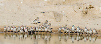 Scaly-Featherd Finch flock drinking at a waterhole, Kgalagadi Tranfrontier Park, Northern Cape, South Africa