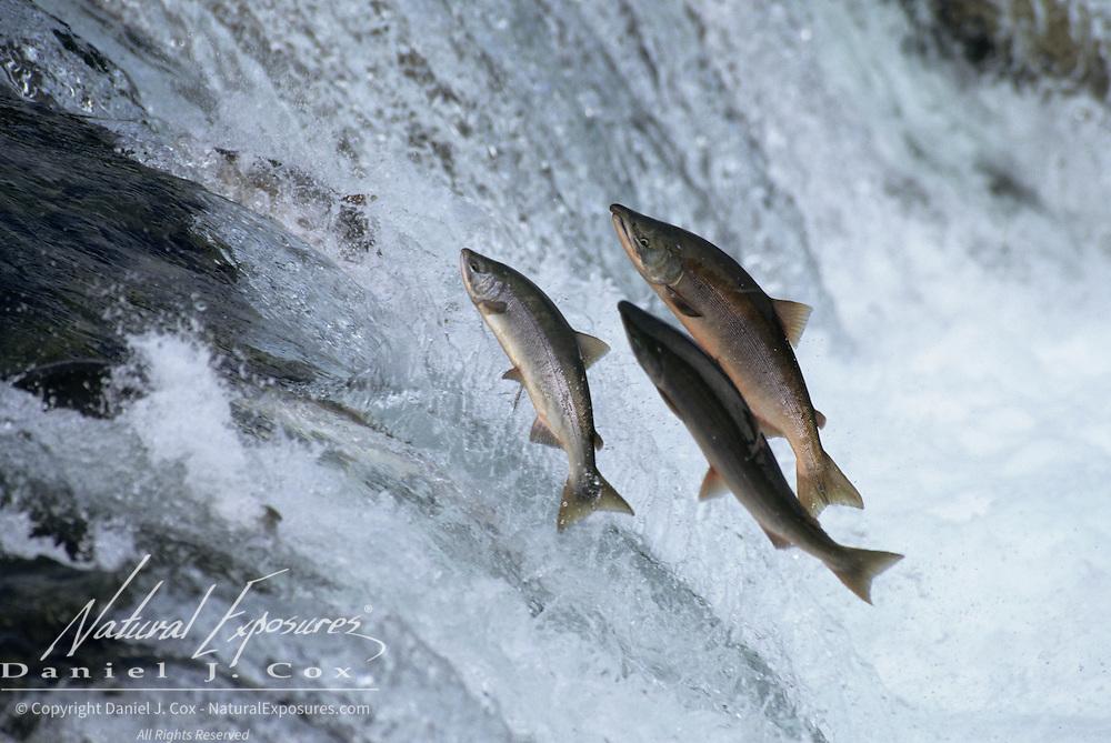 Chum salmon (Oncorhynchus keta) jumping falls at Brooks Falls on the Brooks River, Alaska.