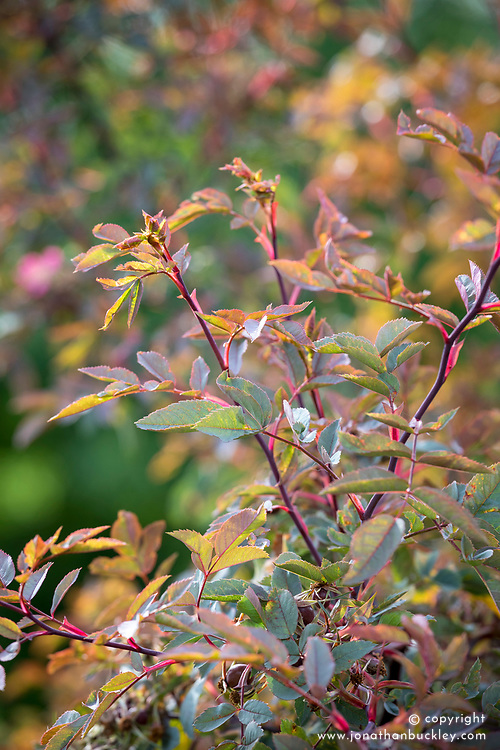 The foliage of Rosa rubrifolia syn. R.glauca