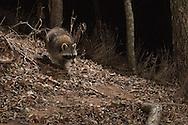 Northern Raccoon (Procyon lotor)<br /> TEXAS: Travis Co.<br /> Brackenridge Field Laboratory; Austin<br /> 22.Jan.2009<br /> J.C. Abbott