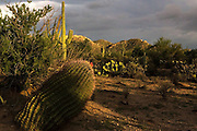 Saguaro National Park west with barrel cactus