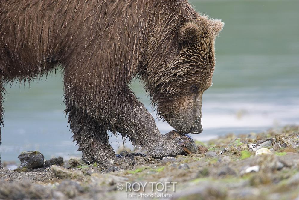 Close-up view of a brown bear (Ursus arctos) foraging for food at waters edge, Katmai National Park, Alaska.