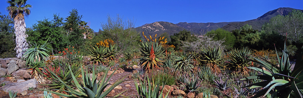 Aloes in California