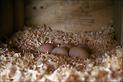 Chicken coop eggs