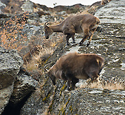 Adult  Himalayan tahr, female (above) and male (below), scale steep cliffs between Phortse and Pangboche in Sagarmatha National Park, in the Khumbu district of Nepal. The Himalayan tahr is an even-toed ungulate, a near-true goat. Sagarmatha National Park was created in 1976 and honored as a UNESCO World Heritage Site in 1979.