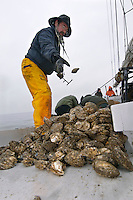 © David Trozzo-- 3/31/2008 Annapolis, Maryland, Jeff Holland, director of The Annapolis Maritime Museum takes a job culling the oysters on last day of oyster season aboard the Skipjack Helen Virginia on the Chesapeake Bay.