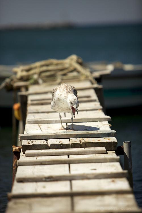 Seagull. Mouette.