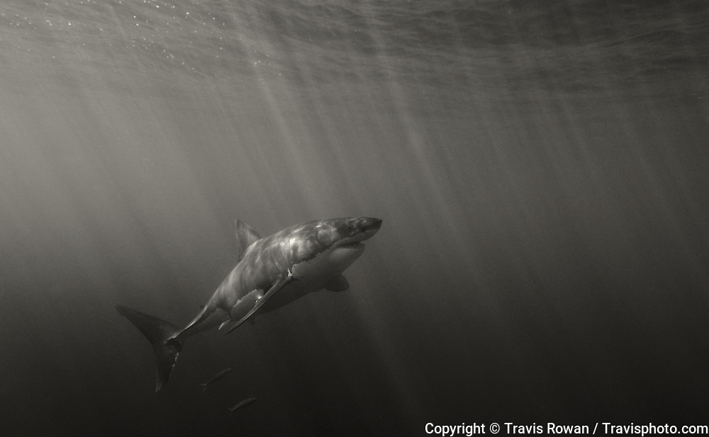 A large great white shark ascends into sunbeams underwater. Guadalupe Island, Mexico.