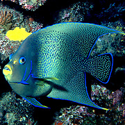 Semicircle Angelfish inhabit reefs. Picture taken PNG.