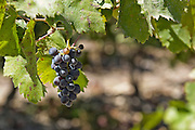 Vineyard. Carignan grapes on a vine