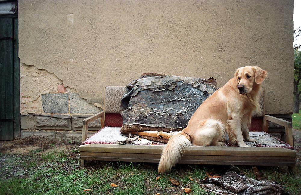 Golden Retriever Lemmy. Der Golden Retriever ist ein intelligenter, freudig arbeitender Hund, dem auch extreme, nasskalte Witterungsbedingungen nichts ausmachen. Dem steht allerdings eine relativ starke Empfindlichkeit hinsichtlich hoher Temperaturen gegen&uuml;ber. Grunds&auml;tzlich ist die Rasse ruhig, geduldig, aufmerksam und niemals aggressiv.<br /> <br /> Golden Retriever Lemmy.
