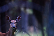 A white-tailed doe eating lichens that have fallen out of the branches of a conifer forest in summer. Yaak Valley in the Purcell Mountains, northwest Montana.