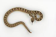 Mojave Rattlesnake, Crotalus scutulatus, studio portrait, studio portrait, ideal for cutout