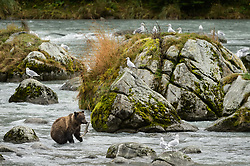 A grizzly bear catches a salmon in the Chilkoot River at the Chilkoot Lake State Recreation Site near Haines, Alaska.<br /> <br /> The Chilkoot River outlet of Chilkoot Lake offers some of the best salmon fishing in Southeast Alaska. Four salmon runs are an open invitation for bears to feast on the spawning salmon. At times, the Chilkoot River Corridor has some of the highest bear activity in the state. The Chilkoot River corridor area is extremely narrow with room for an equally narrow road with few pullouts for tourists and fisherman causing traffic and congestion. This creates a serious conflict between humans and bears.<br /> <br /> Care must be taken by visitors to the area to protect themselves and the bears. Bear and human conflicts have been increasing in recent years to the point that a special human free zone was established to give bears access to the river. In addition a bear viewing platform is under development to provide a safer location for visitors to view bears feeding in the river. The area is part of the Chilkoot Lake State Recreational Site located near Haines, Alaska at the head of the Lutak Inlet in the Lynn Canal.<br /> <br /> The Chilkoot River ranks second in popularity for Southeast Alaska freshwater sports fishing. The area is also an important cultural area for the Tlingit people and site of a culture camp.