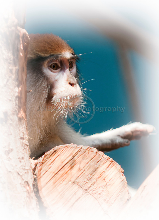 The Patas Monkey, may also be known as the Wadi monkey or Hussar monkey.