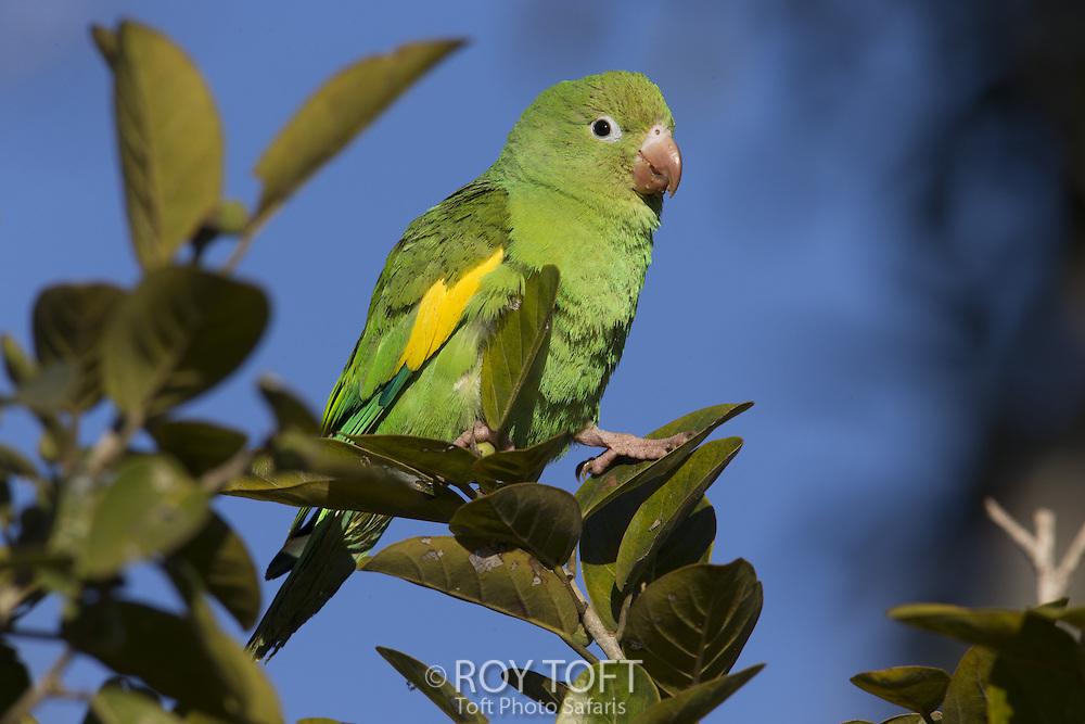 Yellow-chevroned Parakeet (Brotogeris chiriri), Pantanal, Brazil