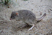 Northern (tropical) bettong