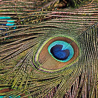 A close-up of the elaborate eye-spot of the male Indian Peafowl's tail feathers. Turtleback Zoo, West Orange, New Jersey, USA